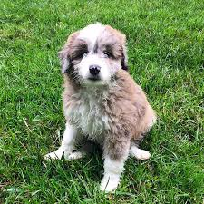 australian shepherd x poodle 10 crossbreed dogs that will make you fall in love with mutts