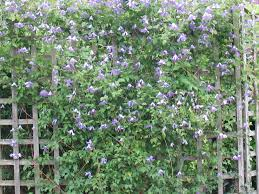 which clematis for which wall gardening forum gardenersworld com