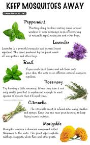 natural mosquito repellents top mosquito repellent plants theindianspot