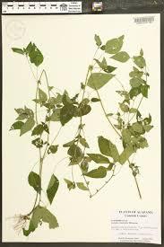 native plants of alabama acalypha rhomboidea species page apa alabama plant atlas