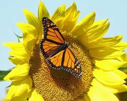 image result for sunflowers and butterflies butterflies moths