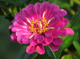 Zinnia Flower Growing Zinnia Flowers Easy Plants For Your Landscape And