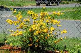 native plants of japan grow kerria japonica for spring blooms winter bark