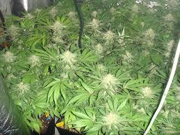 refroidir chambre de culture refroidir chambre de culture culture de cannabis avec des les led