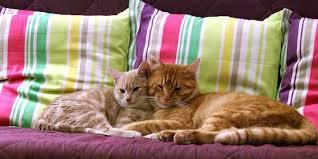 gatti divani come togliere i peli di gatto da divano e tessuti amo il mio gatto