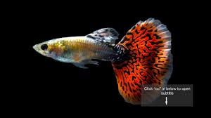 smart female guppies with bigger brains choose more attractive