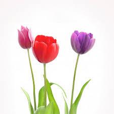 exotica dubai tulips gode