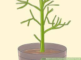 how to grow a pencil tree euphorbia tirucalli 11 steps