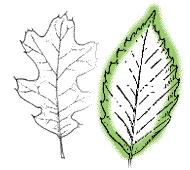 identify by leaf