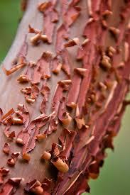 manzanita tree so lost and found manzanita tree san jacinto mountains california