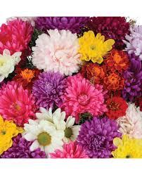Flower Seeds Online - chrysanthemum mix seeds buy chrysanthemum mix seeds online at
