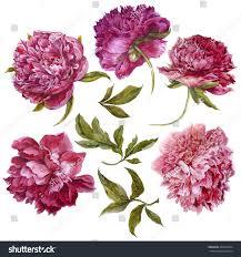 The Pink Peonies by Set Watercolor Dark Pink Peonies Separate Stock Illustration