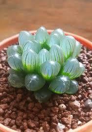 Unique Plant Pots 80 Haworthia Cooperi Seeds Unique Crystal Rare Exotic Succulent