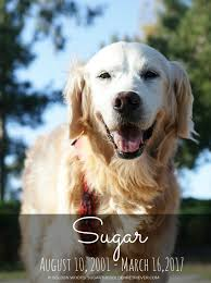 in loving memory dog tags in loving memory sugar the golden retriever daily dog tagdaily