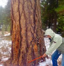Cut Your Own Christmas Tree Idaho Press Tribune Outdoors News