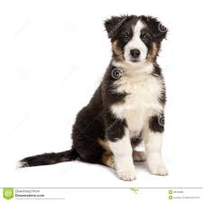 t shirt australian shepherd australian shepherd puppy 2 months old sitting stock photos