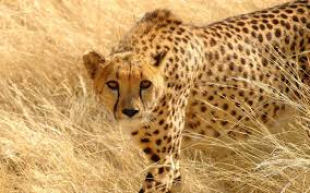 photo collection free cheetah wallpaper wallpapers