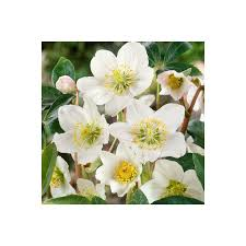 helleborus niger garden plant 2l at homebase co uk