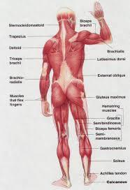 photos back muscle anatomy chart human anatomy diagram
