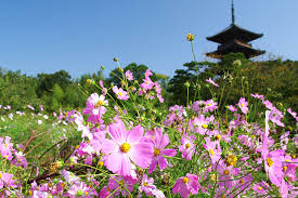Flowers In Japanese Culture - a field of cosmos flowers colorfully decorating the hillside