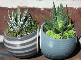 how to grow and care for zebra plants world of succulents