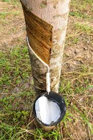 tapping from rubber tree stock photo stoonn 16774729