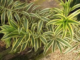 trees planet dracaena reflexa pleomele song of india new