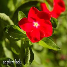 Vinca Flower Information - very vibrant vinca ramblings from a desert garden