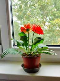 gerbera care indoors u2013 how to grow gerbera daisy plants inside