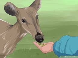 4 ways to feed deer wikihow