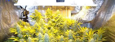 Best 25 Marijuana Grow Lights by How Much Marijuana Can One Plant Produce A Pound