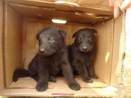 belgian shepherd rescue south africa black belgium belgian shepherd puppies of male and