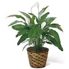 plants for funerals funeral plants