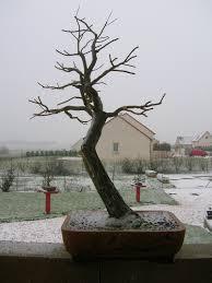 bonsai saule pleureur poterie pour un saule pleureur céramique et poteries forums