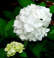 hydrangea white identification of the four most common species of hydrangeas a
