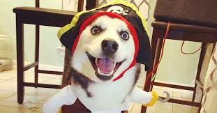 Halloween Costumes Husky Dog 3 Legged Dog Steps Halloween Game Amazing Pirate