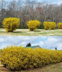 when to prune native plants on pruning forsythia the landscape of us