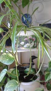 the spider plant and golden photos aka devil u0027s ivy have similar