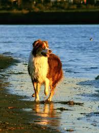 australian shepherd san diego 29 best cute dog photos images on pinterest animals funny