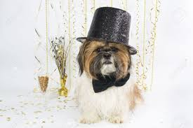 new year s tops a shih tzu in a fancy top hat celebrates new year s with a
