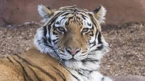 Home Interior Tiger Picture Denver Zoo Moves New Tiger Into Brand New U0027edge U0027 Exhibit Cbs Denver