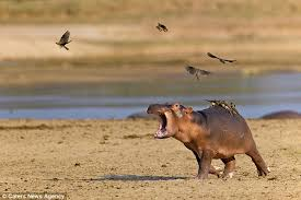 Baby Hippo Meme - baby hippo runs for its mother when birds start feeding on its back