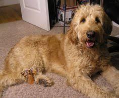how to cut a goldendoodles hair die besten 25 goldendoodle frisuren ideen auf pinterest