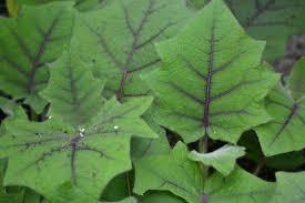 the outlaw gardener solanum quitoense my favorite plant this week