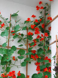 the white wall makes the red and green stand out nasturtiums this