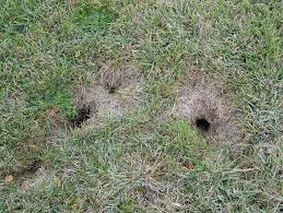 how to get rid of gophers gopher removal havahart