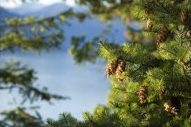 douglas fir tree oregon pine trees for sale cold farm