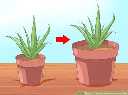 Easy To Care For Indoor Plants How To Care For Your Aloe Vera Plant 10 Steps With Pictures