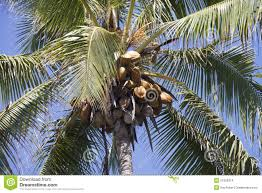 Hawaii vegetaion images Coconut tree in hawaii stock photo image of tree palm 51056314 jpg