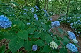 native georgia plants hydrangeas for every garden